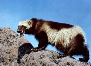 Beniot wolverine