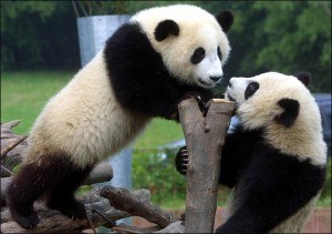 pandas 300x211 WWE sticks it to World Wildlife Fund with panda vs. panda match