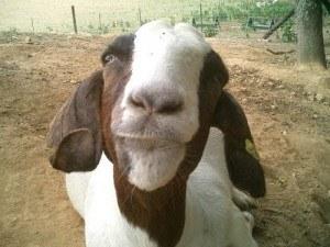 goatface bryan