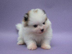 puppy11
